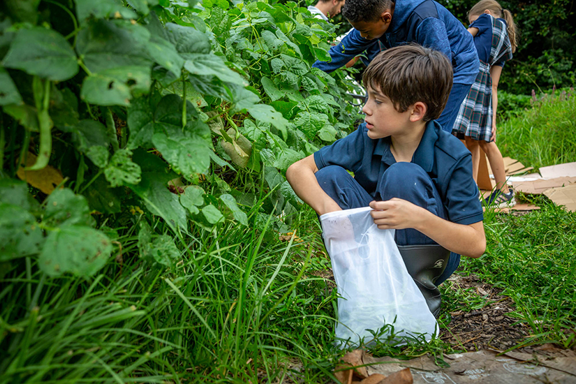 Fifth-grader John Tuhill harvested green beans in the garden at St. Ann School garden in Normandy on Aug. 20. The school has supported a community garden for nearly a decade, with the produce going to community sponsored agriculture (CSA) boxes or to local food pantries.