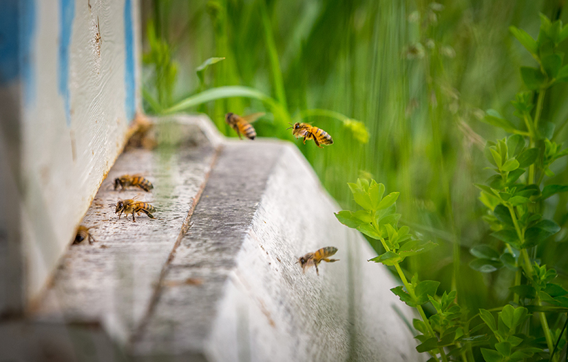 Bees fly into hives at La Salle Retreat Center. The retreat center has nine beehives on the property, part of a program to preserve and make better use of the retreat center's 180 acres of land.